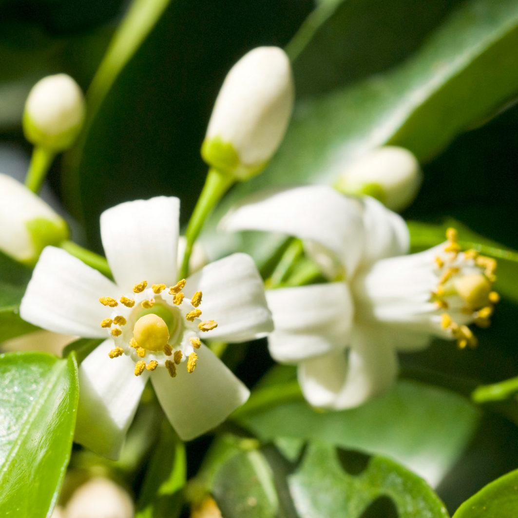 Miel de Azahar Orange Blossom Honey - Camino Mitad